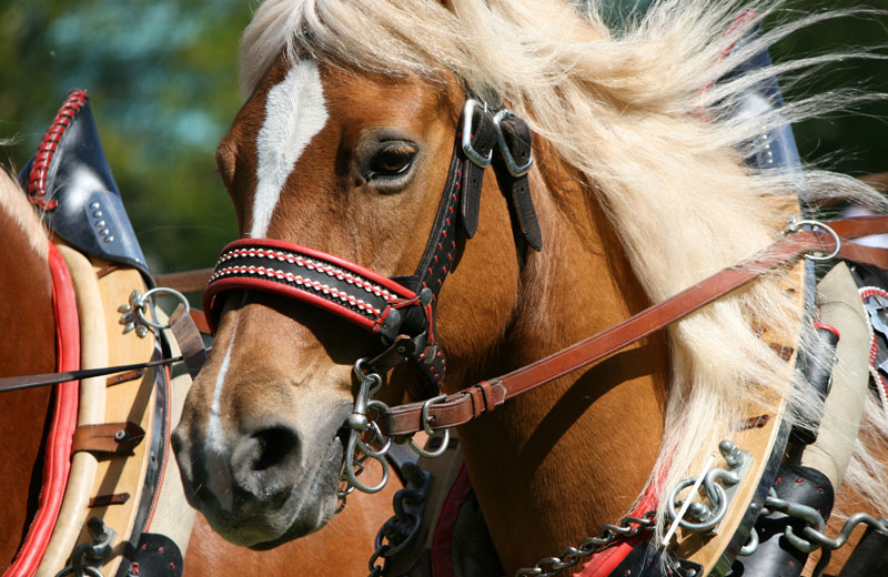 Haflinger Galopprennen in Untermais