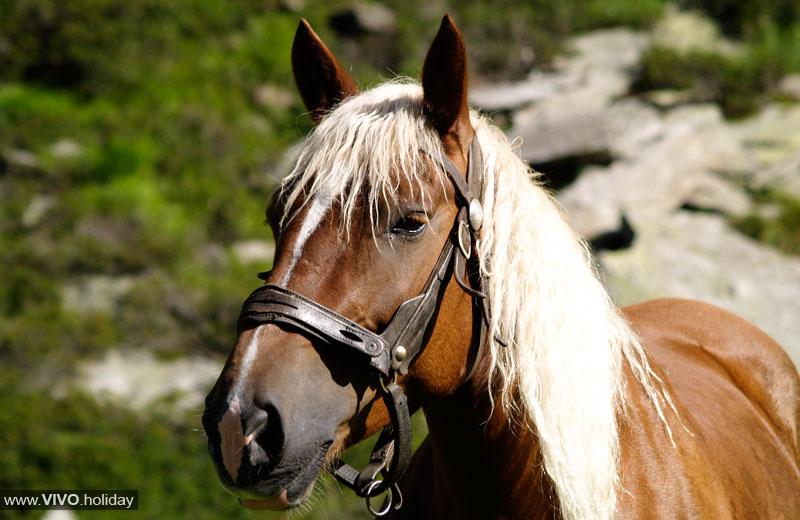 Cavalli avelignesi in alto adige vivoaltoadige for Cavalli bolzano